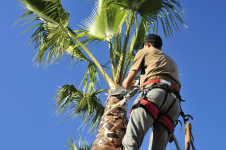 palm tree being trimmed by a tree climber