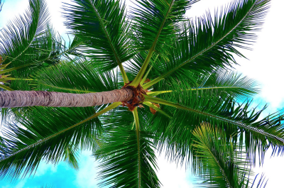looking up at a newport beach palm tree