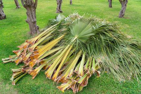 palm tree pruning in newport beach