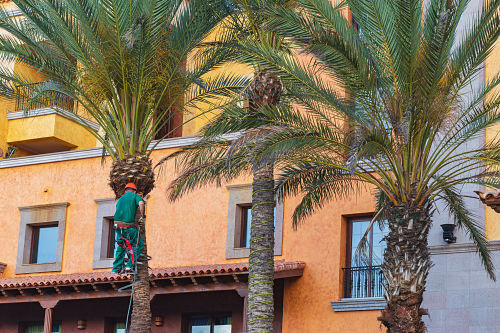 tree climber working on trimming a group of palm trees in the newport beach area of southern california