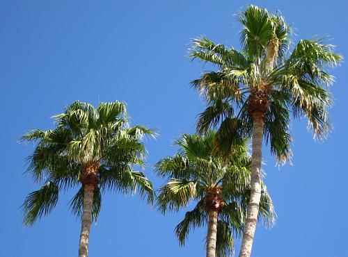 palm tree service in newport beach area of orange county ca